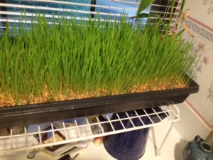 I grew this wheat grass